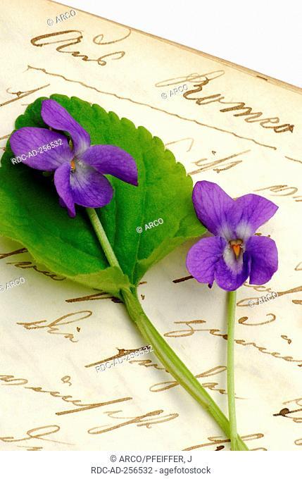 Sweet Violet on book with old handwriting Viola odorata