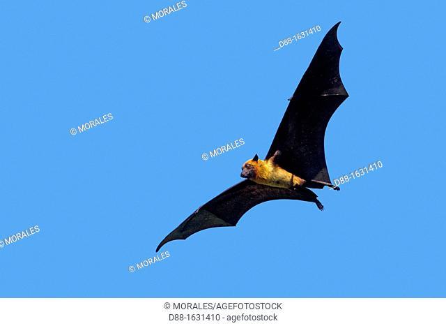 India , State of Gujarat , Town of Junâgadh , Indian Flying-fox  Pteropus giganteus