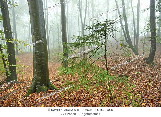 Landscape of a foggy forest with a young Norway spruce (Picea abies) between European beech (Fagus sylvatica) in autumn