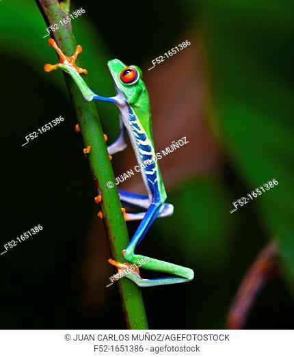 Red-eye Treefrog (Agalychnis callidryas), Costa Rica, Central America