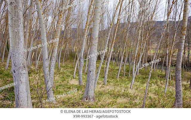 Poplar trees. Burgos. Spain