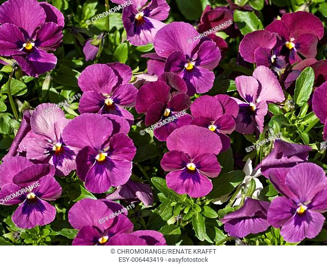Purple Pansies, Viola wittrockiana