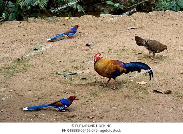 Ceylon Blue Magpie and Jungle fowl both endemic to Sri Lanka
