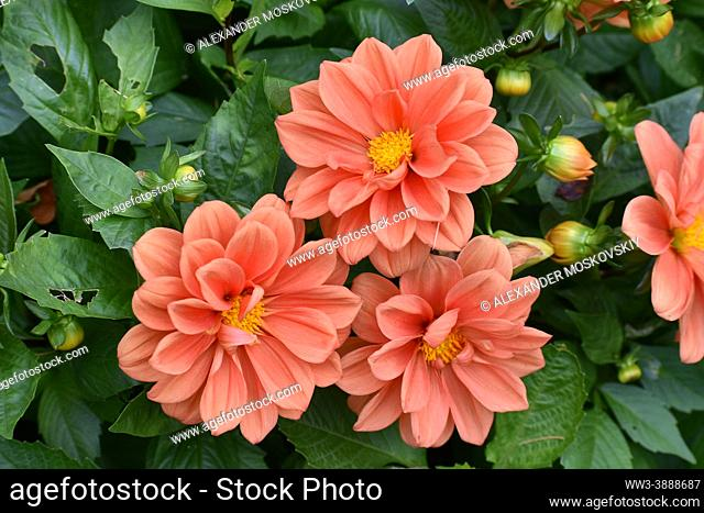 Colorful and fragile Flowers