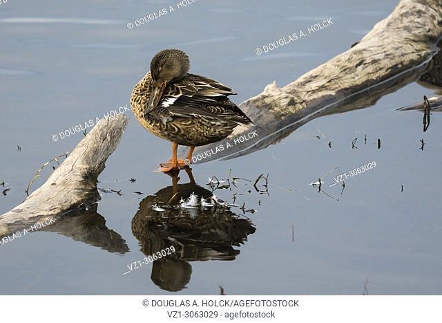 Resting Female Northern Shoveler reflection, Colusa National Wildlife Refuge, USA