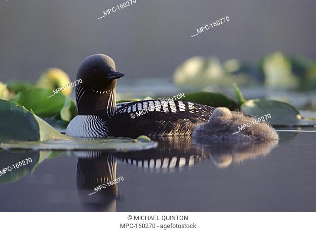 PACIFIC LOON, (Gavia pacifica) PARENT AND CHICK SWIMMING AMONG WATER LILIES, NORTH AMERICA