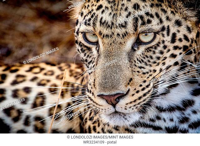 A leopard's face, Panthera pardus, looking away with whiskers and yellow-green eyes