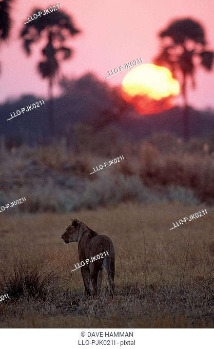 Silhouette of an African Lioness Panthera leo walking into the sunset. Okavango Delta, Botswana, Africa