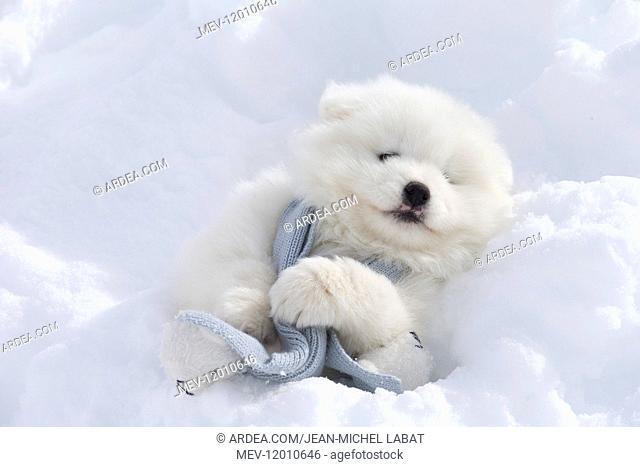 Samoyed dog in winter snow