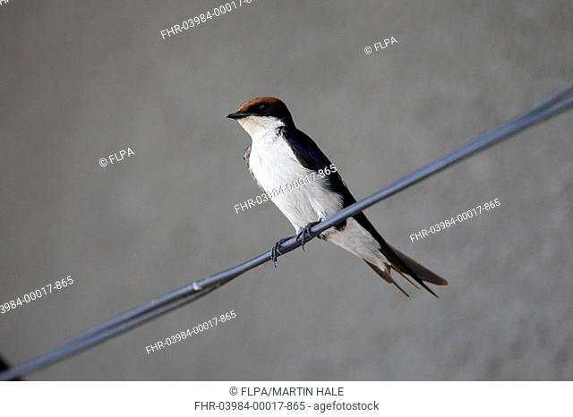 Wire-tailed Swallow (Hirundo smithii) adult, perched on wire underneath building, Awash N.P., Ethiopia, November