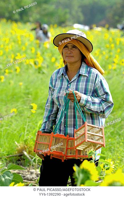 thai lady selling caged birds for merit making, sunflower fields of lopburi and saraburi, central Thailand