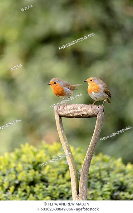European Robin (Erithacus rubecula) two adults, perched on garden fork handle, Staffordshire, England, April