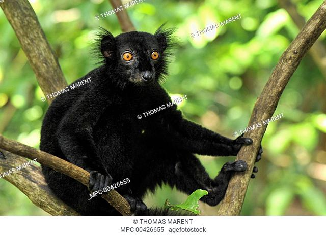 Black Lemur (Lemur macaco) male, Lokobe Nature Special Reserve, Madagascar