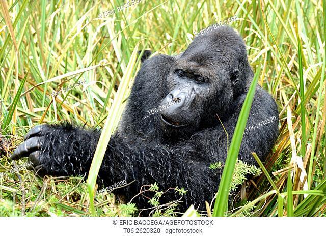Eastern lowland gorilla (Gorilla beringei graueri), silverback dominant male, feeding in the marshes, Kahuzi Biega NP, Democratic Republic of Congo, Africa