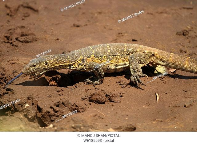 The monitor lizard uses its forked tongue to pick up scents from the air, Masai Mara National Reserve, Kenya