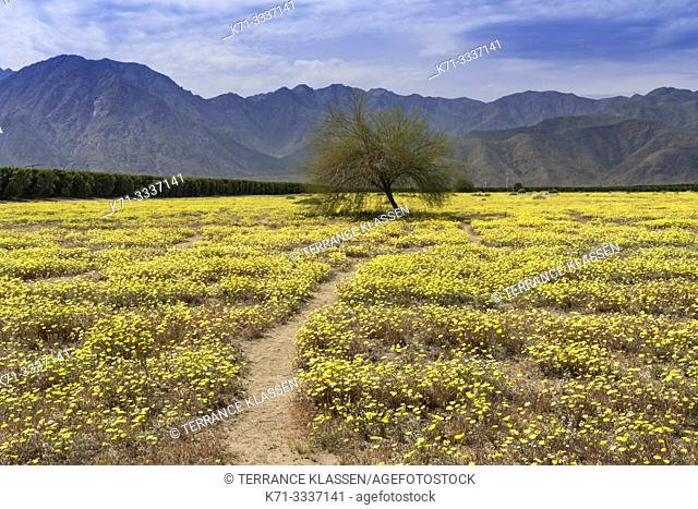 Desert wildflowers blooming in the Anza-Borrego State Park in the 2019 Superbloom, California, USA