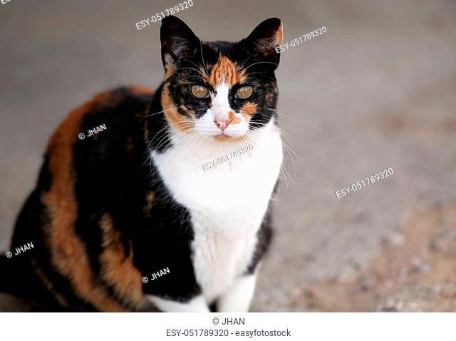 Calico cat looking at camera
