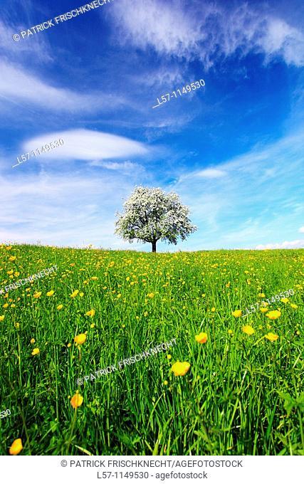 aplle tree in blossom, spring, Switzerland