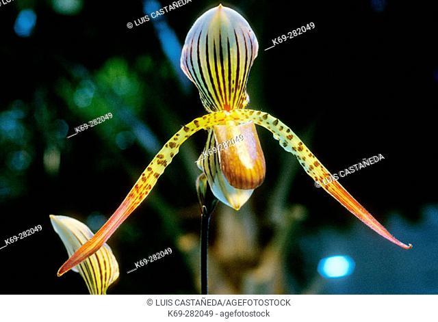 Orchid (Haycalcianum rothschildcianum). Guatemala