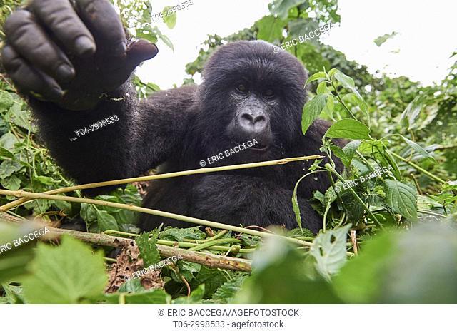 Curious young mountain gorilla female (Gorilla beringei beringei) stretching hand. She belongs to a family group named Kabirizi