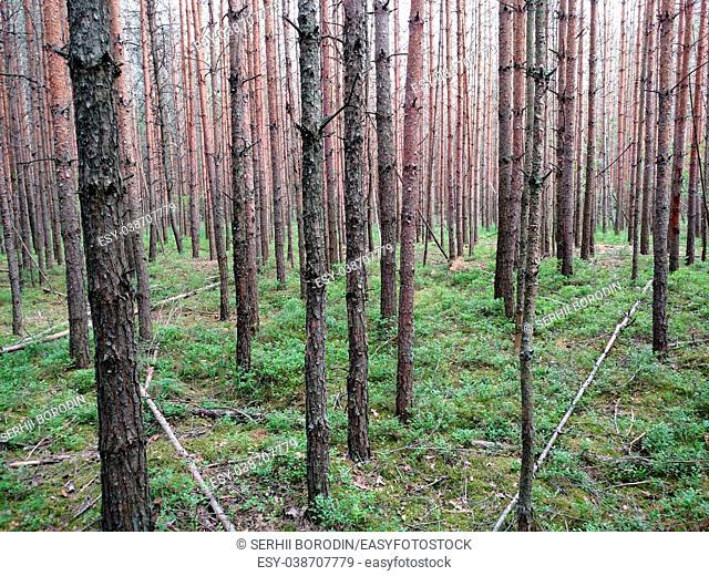 Dark forest background. Ukraine forest trees . Background nature