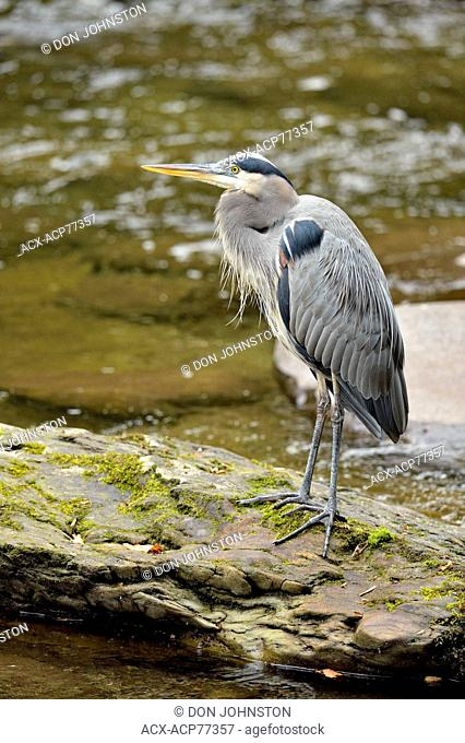 Great blue heron (Ardea herodias) Hunting in the Little River, Great Smoky Mountains NP, Tennessee, USA