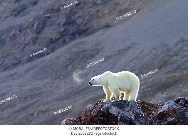 Norway , Spitzbergern , Svalbard , Polar Bear female and young