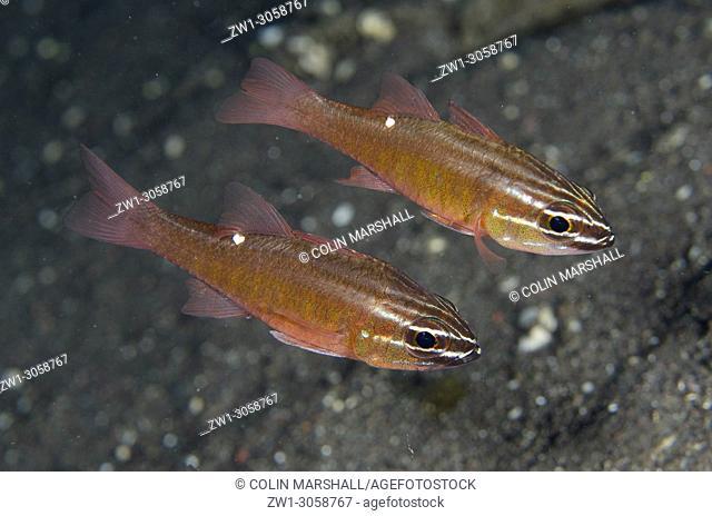 Pair of Moluccan Cardinalfish (Ostorhinchus moluccensis, Apogonidae family), Segara dive site, Amed, east Bali, Indonesia