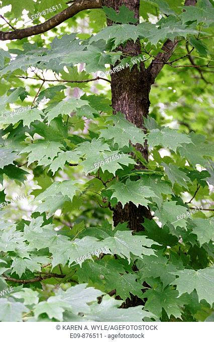 maple tree in summer, with large green leaves, muted lighting