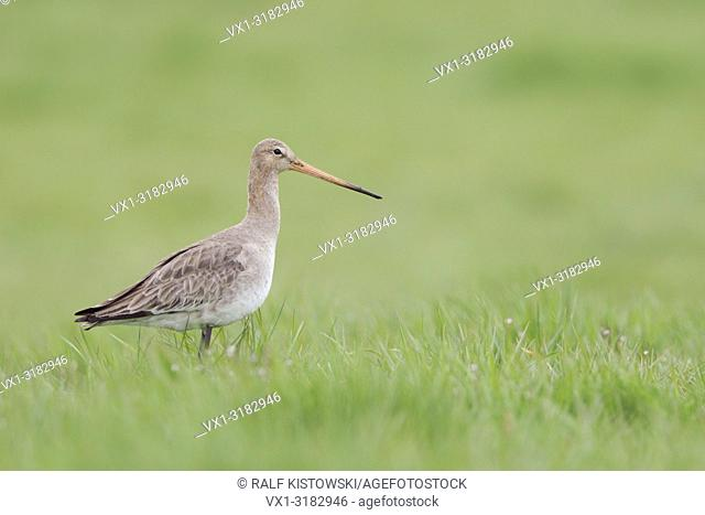 Black-tailed Godwit ( Limosa limosa) standing in fresh green grass of a wet meadow, looks around.