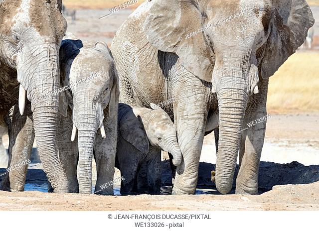 African elephants (Loxodonta africana), adult females, calf and baby elephant, covered with dried mud, drinking at Newbroni waterhole, Etosha National Park