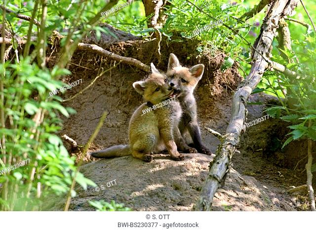 red fox (Vulpes vulpes), two cubsplaying close to their den, Germany