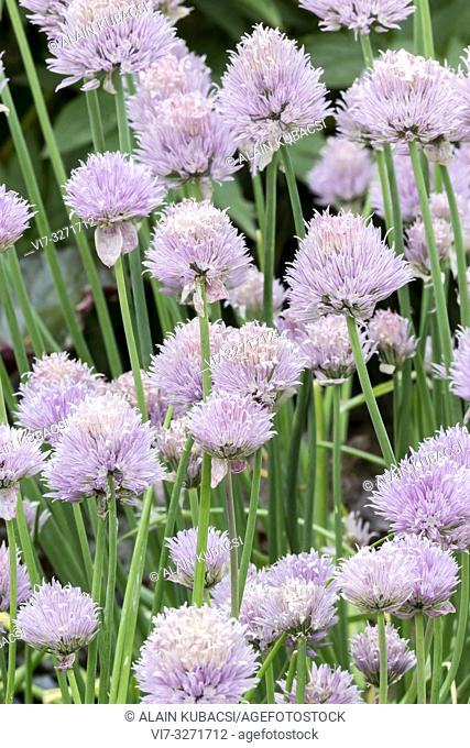 Cive / Allium schoenoprasum