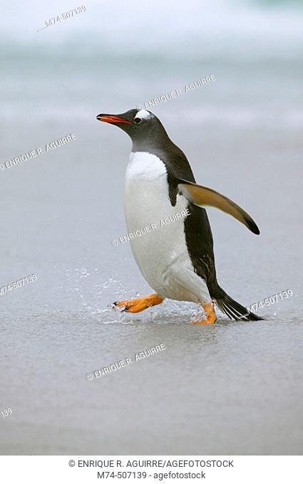 Gentoo penguin (Pygoscelis papua). Falkland Islands