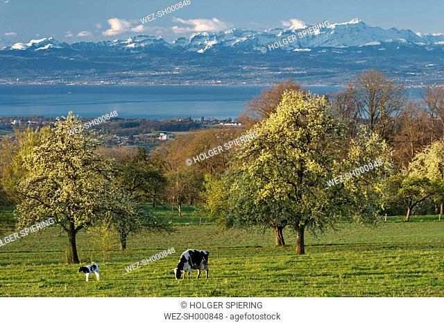 Germany, Constance, View of cows grazing in front of Swiss Alps