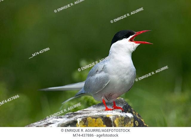 Arctic tern calling from a rock perch