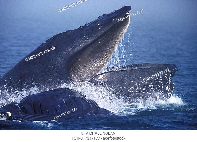 Humpback Whales Megaptera novaeangliae cooperatively bubble-net feeding in the fog. Chatham Strait, Southeast Alaska, USA