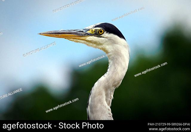 22 July 2021, Brandenburg, Kleinmachnow: A grey heron waits near the Kleinmachnower lock on the bank of the Teltow Canal