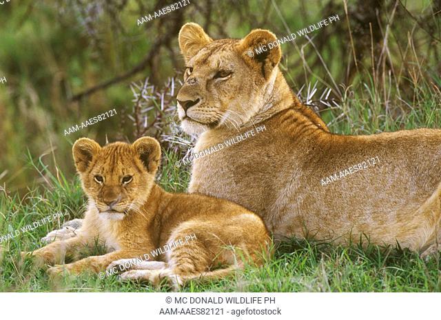 African Lioness with Cub (Panthera leo), Masai Mara, Kenya