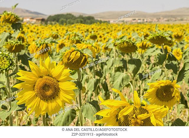 Sunflower field El Pobo in Teruel Aragon Spain