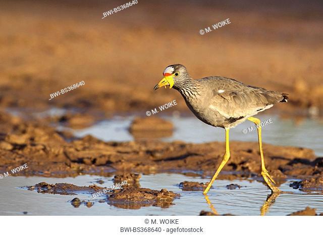 Senegal wattled plover (Vanellus senegallus), walks in shallow water, South Africa, North West Province, Pilanesberg National Park