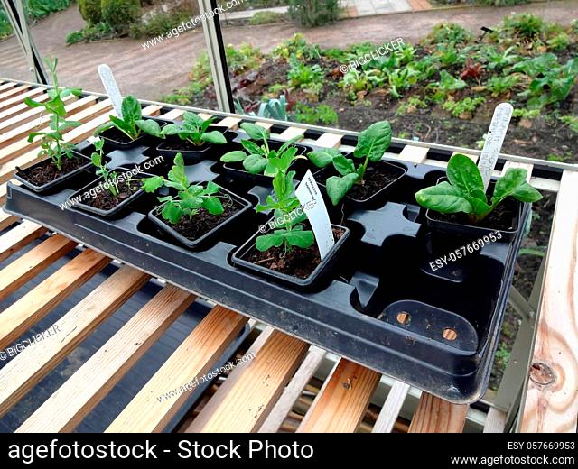 Seedling in an allotment greenhouse plastic tray showing new growth ready to be planted out in the vegetable garden