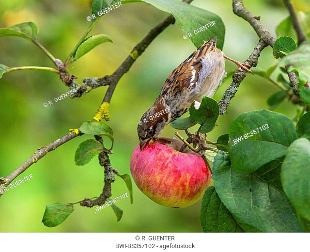 house sparrow (Passer domesticus), female sparrow feeding on an apple in an apple tree , Germany