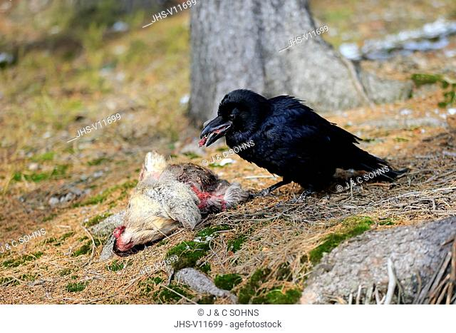 Common Raven, (Corvus corax), adult on ground feeding on carrion, Zdarske Vrchy, Bohemian-Moravian Highlands, Czech Republic