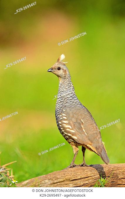 Scaled quail (Callipepla squamata), Rio Grande City, Texas, USA