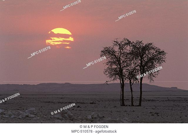 Acacia trees and gravel plains at sunrise, Namib-Naukluft National Park, Namib Desert, Namibia, Africa