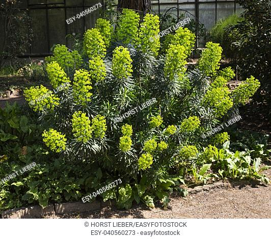 Large Mediterranean spurge (Euphorbia characias) in flowers. Botanical Garden, KIT Karlsruhe, Germany, Europe