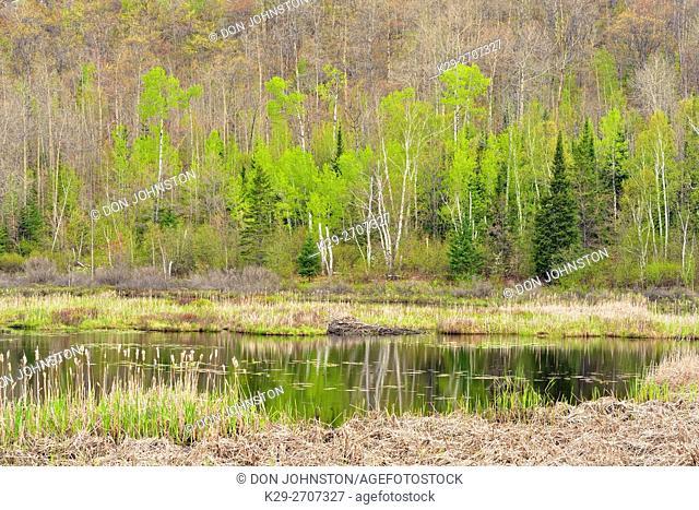 Spring foliage on a hillside reflected in a beaver pond, Espanola, Ontario, Canada