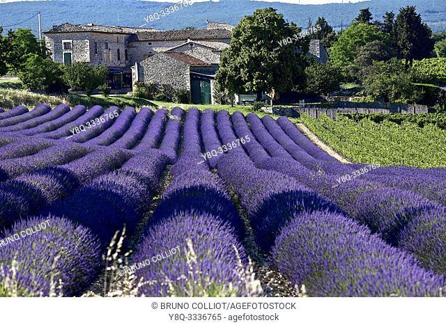 lavender fields of tricastin, Grignan. the drôme, france