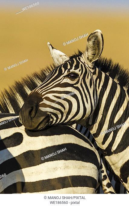 Zebra using another Zebra's rump to rest its head. Masai Mara National Reserve, Kenya